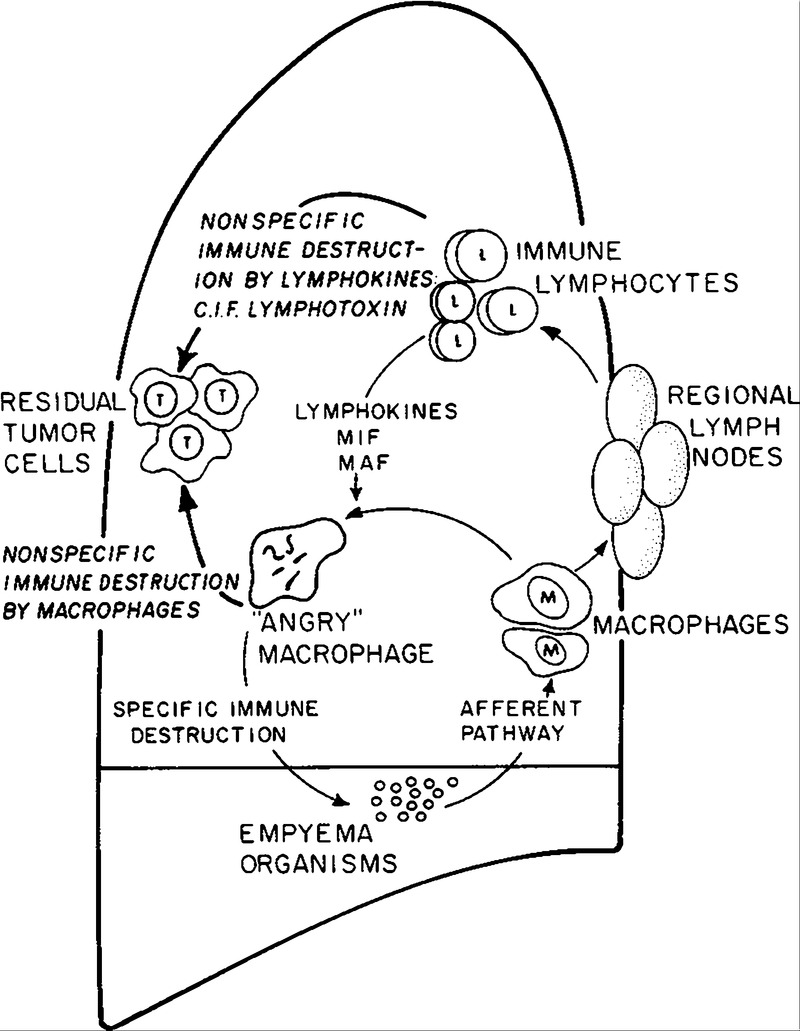 postoperative empyema improves survival in lung cancer Chest Wall Lymph Nodes figure 4 postulated mechanism of protection of patients with empyema cif represents clonal inhibitory factor maf macrophage activating factor
