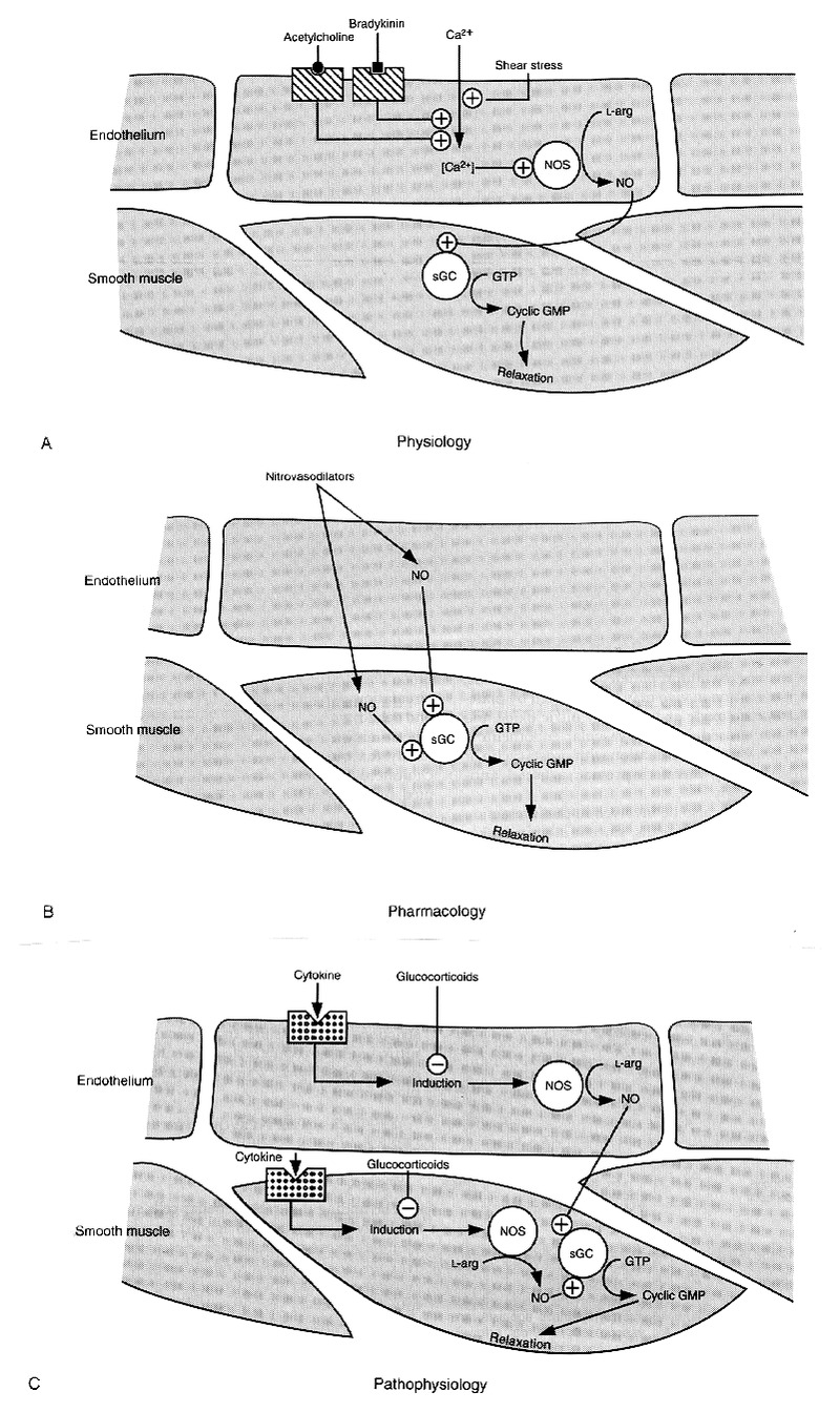 The L Arginine Nitric Oxide Pathway Nejm Process Flow Diagram Acid Vascular Relaxation Mediated By