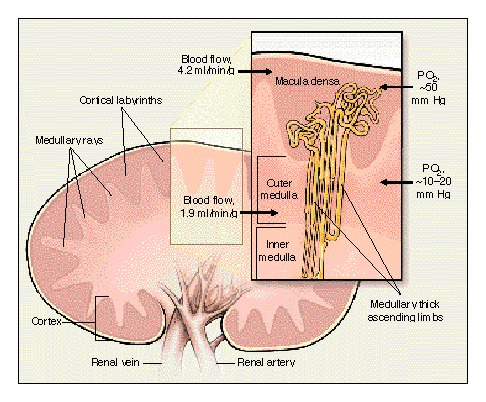 Hypoxia of the Renal Medulla — Its Implications for Disease | NEJM