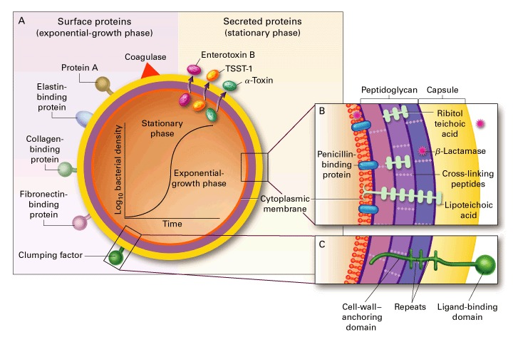 Staphylococcus aureus Infections | NEJM Staphylococcus Bacteria Diagram