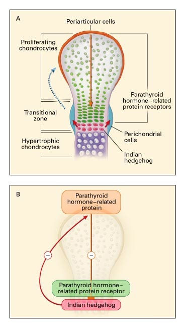 The Physiology of Parathyroid Hormone–Related Protein | NEJM on