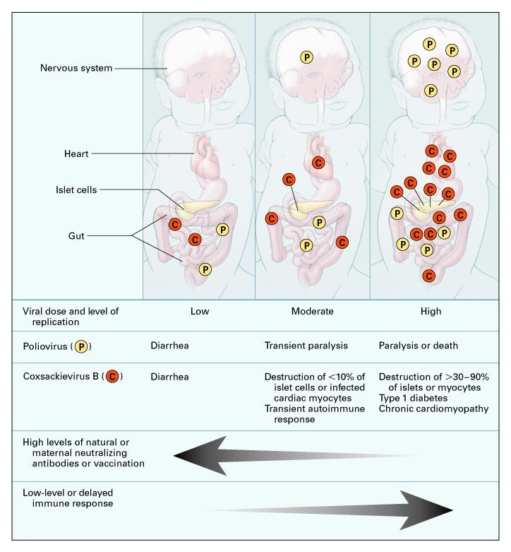 Type Timing Of Maternal Infection >> Maternal Antibodies Childhood Infections And Autoimmune Diseases