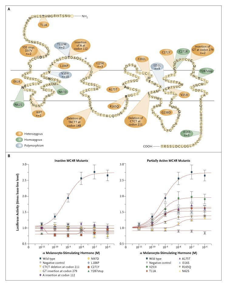 Clinical Spectrum Of Obesity And Mutations In The Melanocortin 4 Receptor Gene Nejm