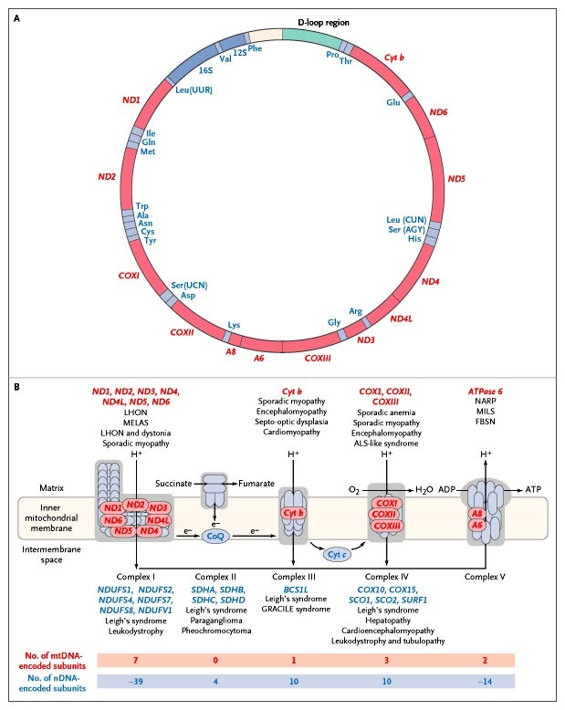 mitochondrial respiratorychain diseases nejm