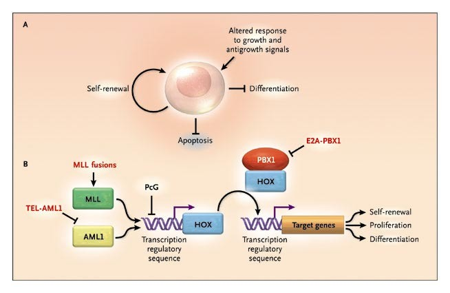 figure 2  transformation of hematopoietic cells in the pathogenesis of all