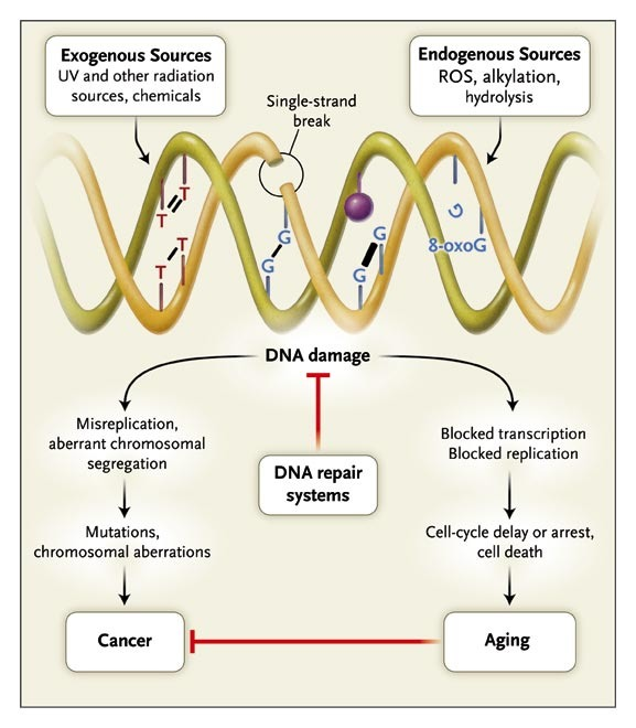 DNA Damage, Aging, and Cancer | NEJM