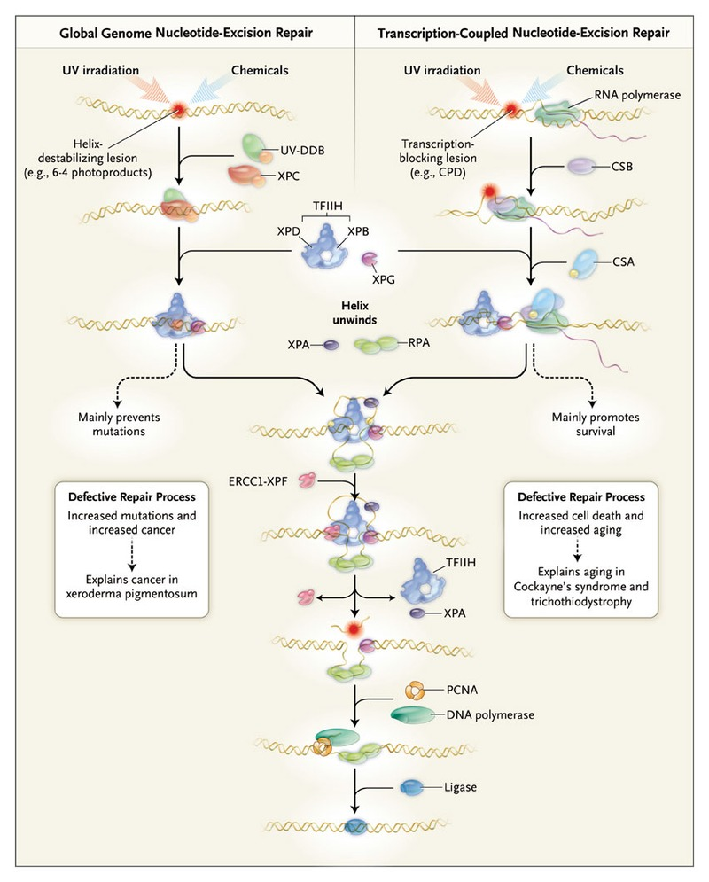 Dna Damage Aging And Cancer Nejm Icu Kw Wiring Diagram Diseases Of Nucleotide Excision Repair