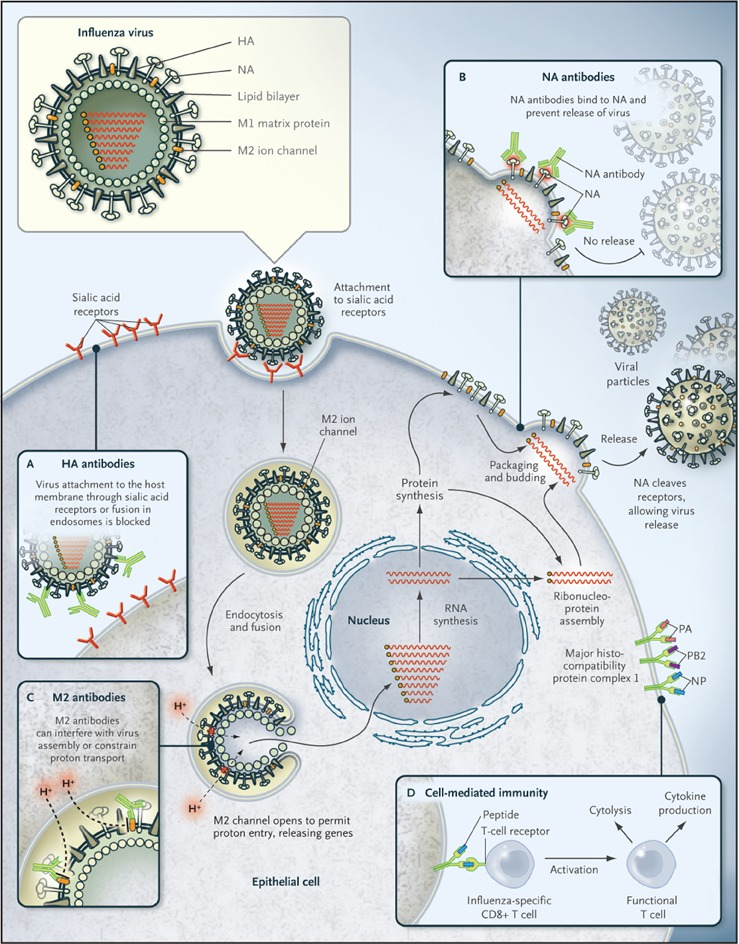 Influenza Vaccines for the Future | NEJM