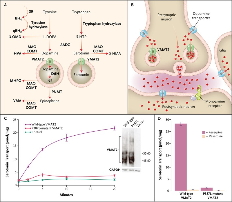 Brain Dopamine–Serotonin Vesicular Transport Disease and Its