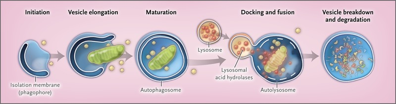 Autophagy in Human Health and Disease | NEJM