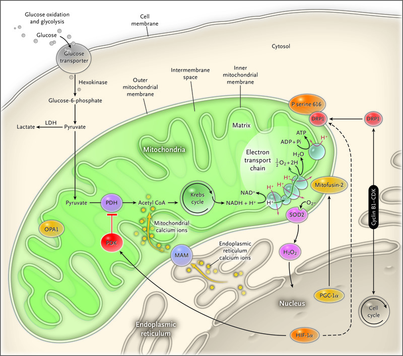 Mitochondrial Dynamics — Mitochondrial Fission and Fusion in