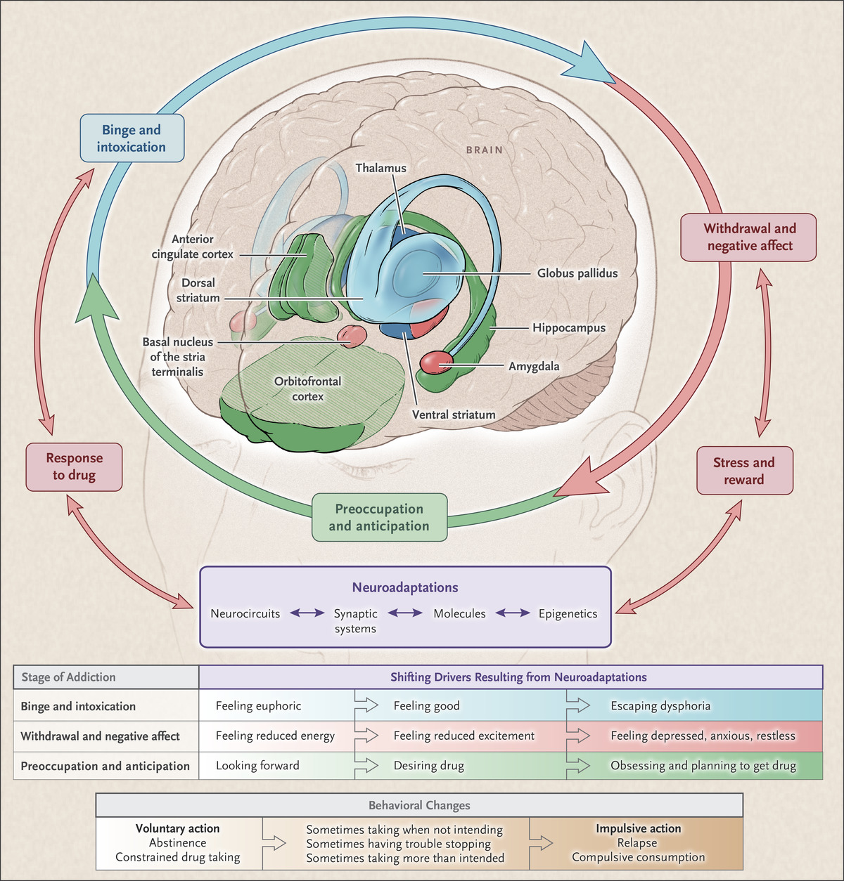 Neurobiologic advances from the brain disease model of addiction nejm figuresmedia ccuart