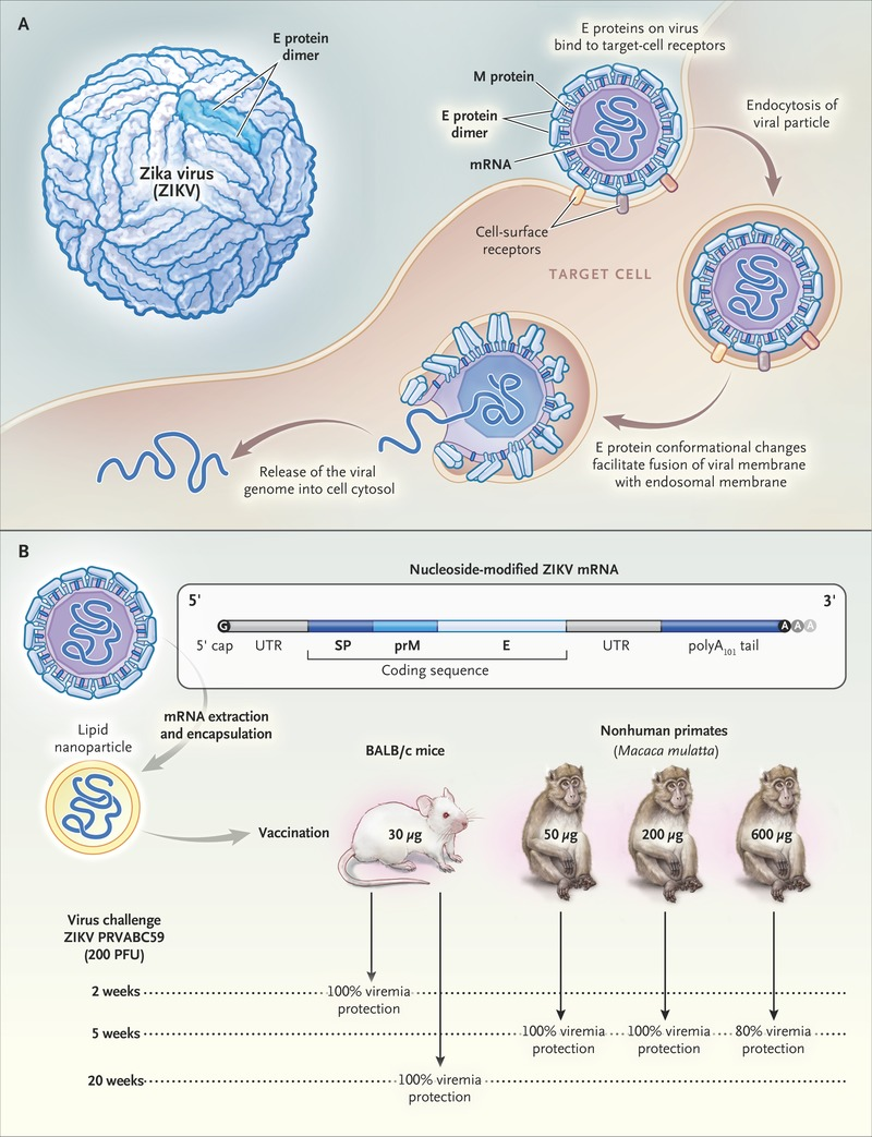 Zika Virus Vaccines — A Full Field and Looking for the