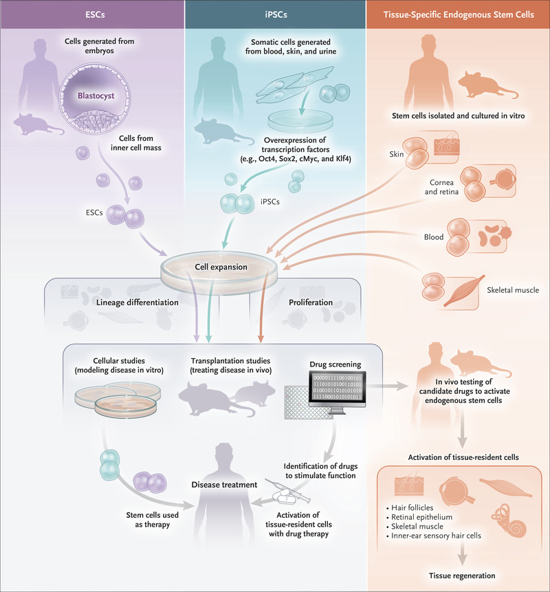 Stem Cells In The Treatment Of Disease Nejm